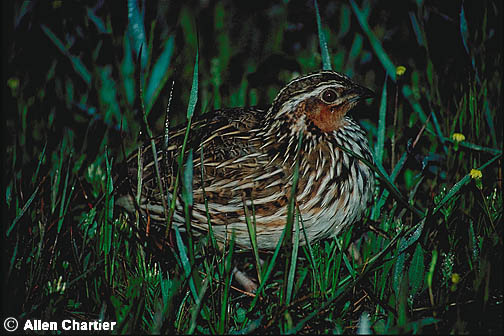how to tell male and female coturnix quail